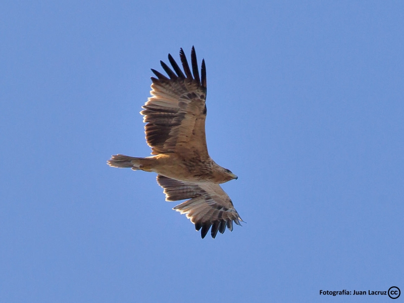 Águila Imperial en los Montes de Toledo