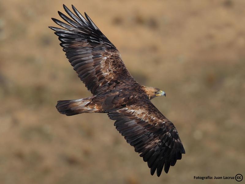 Aguila Real en los Montes de Toledo