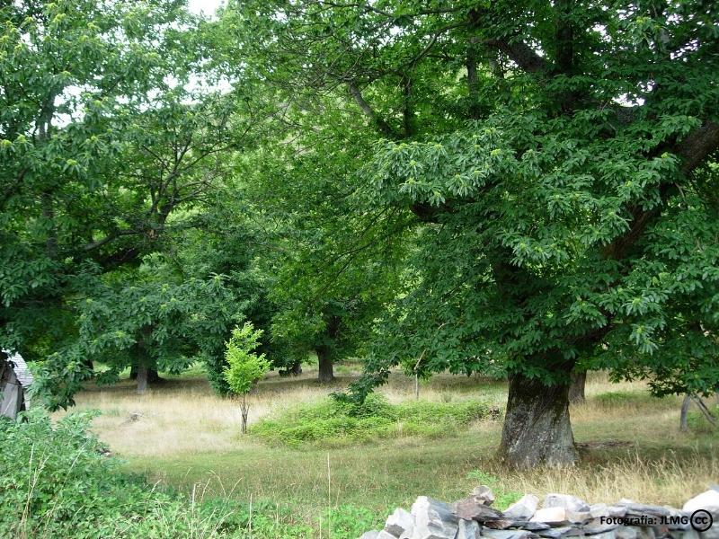 Castaños en los Montes de Toledo
