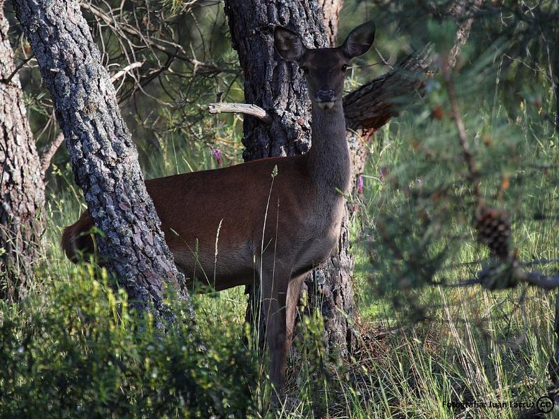 Ciervo en los Montes de Toledo