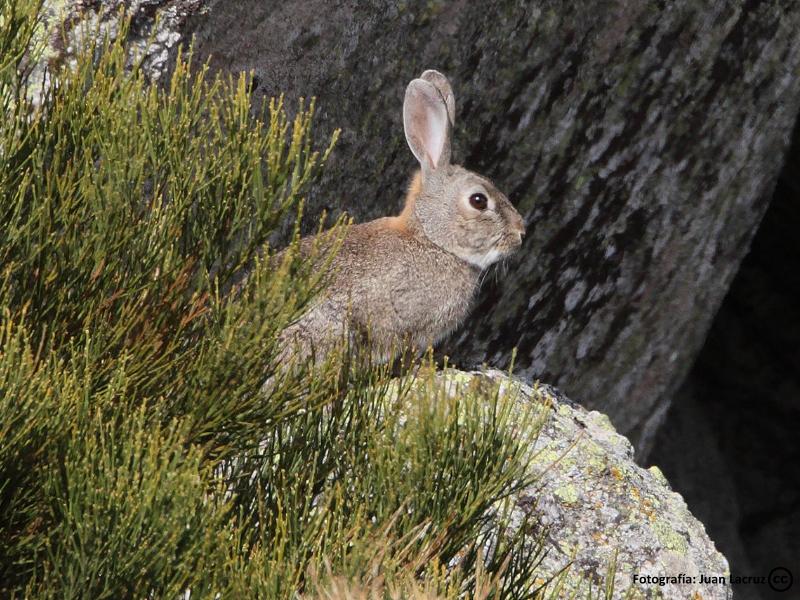 Conejo en los Montes de Toledo